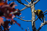 An Evening Grosbeak is scratching its head while perched in an oak tree during the fall in the Finger Lakes Region of Upstate, New York.