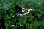 00684-02615 Great Blue Heron (Ardea herodias) in flight carrying branch to nest   FL
