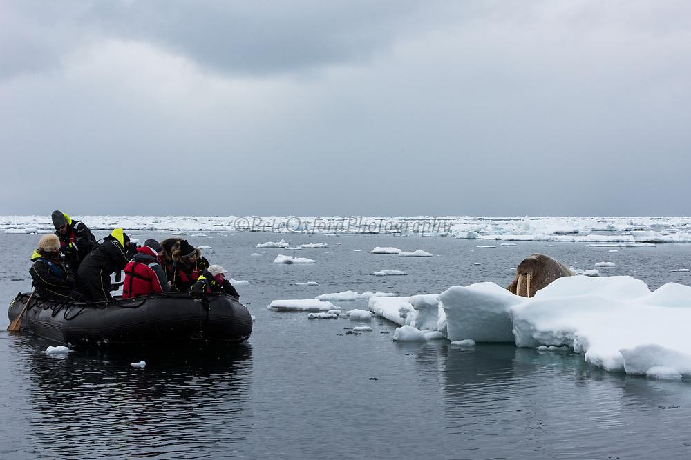 Atlantic Walrus & tourists<br /> (Odobenus rosmarus)<br /> Spitsbergen<br /> Svalbard<br /> Norway<br /> Arctic Ocean