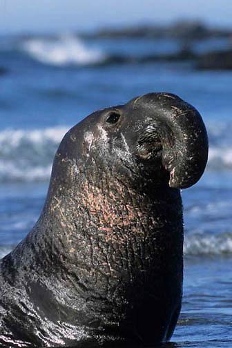 Northern Elephant Seal, (Mirounga angustirostris) Male. Monterey Bay coast of California.