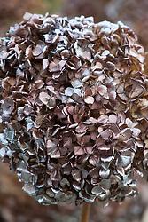 Hydrangea seedhead sprayed bronze and then silver