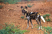 The African wild dog (Lycaon pictus) is a canine which is a native species to sub-Saharan Africa. It is the largest wild canine in Africa, and the only extant member of the genus Lycaon, which is distinguished from Canis by dentition highly specialised for a hypercarnivorous diet, and by a lack of dewclaws. the African wild dog has been listed as endangered on the IUCN Red List since 1990