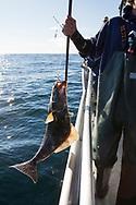 En hälleflundra på kroken.  Sage Klauder arbetar på kapten Nik Ranta båt. Han hjälper till att ta upp fisken.<br /> Seward, Alaska<br /> <br /> Photographer: Christina Sjogren<br /> <br /> Copyright 2018, All Rights Reserved