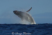 humpback whale, Megaptera novaeangliae, male breaching; tubercles and ridges on head raw from fighting with other males, Hawaii; NMFS research permit #587