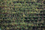Muniz Freire_ES, Brasil...Lavoura de cafe e milho ao lado de trecho da Rota imperial...Coffees and corns plantation next to Imperial Route...Foto: LEO DRUMOND / NITRO