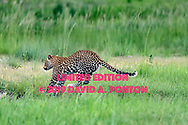 Leopard's front feet touch the ground as he completes a leap across a stream in wetlands along the Chobe River, Chobe National Park, Botswana, © David A. Ponton [LIMITED EDITION PRINTS WILL BE AVAILABLE, other uses are restricted, please contact me for more info.]