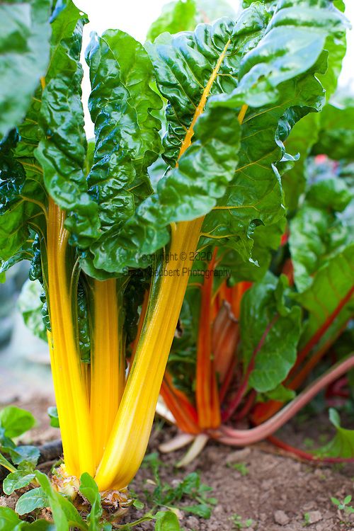 Meriwether's Restaurant is  one of the few restaurants operating their own 5 acre vegetable farm on Skyline Blvd. in NW Portland.  Throughout the 2009 harvest, the restaurant has served over 8000 pounds of Skyline Farm produce.  Colorful rainbow chard growing in the garden.