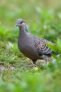 Oriental Turtle Dove, Streptopelia chinensis, walking on grass in Yangxian Biosphere Reserve, Shaanxi, China
