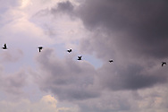 Side view of a group of Brown Pelicans (Pelecanus occidentalis) silhouetted in flight against a partly cloudy Florida sky. WATERMARKS WILL NOT APPEAR ON PRINTS OR LICENSED IMAGES.