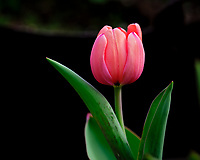 Tulip Flower Opening. Image taken with a Fuji X-T3 camera and 200 mm f/2 OIS lens
