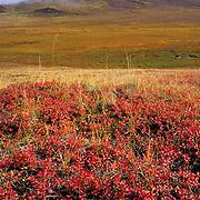 Denali National Park, landscape of colorful tundra at Thorofare Pass. Fall. Alaska.