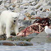 Polar bear (Ursus maritimus) feeding on the remains of a beluga whale (Delphinapterus leucas), with a seagull waiting for its turn. Multiple bears visited this carcass over many days.This bear was wearing a large radio tracking collar, not visible from this angle.
