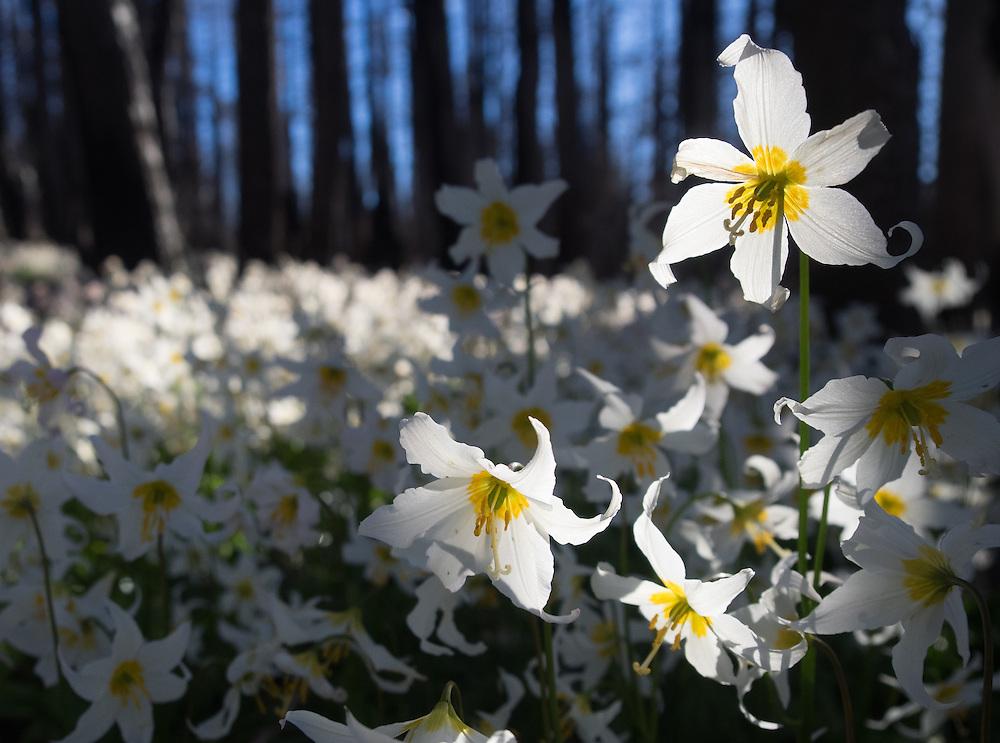 Evening sun provides backlight for avalanche lilies on the Vista Ridge Trail, Mt. Hood Wilderness, Oregon.