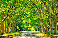 Canopy of trees, East Hampton, Hither Lane, New York, Long Island, South Fork