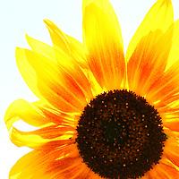 Sunflower isolation
