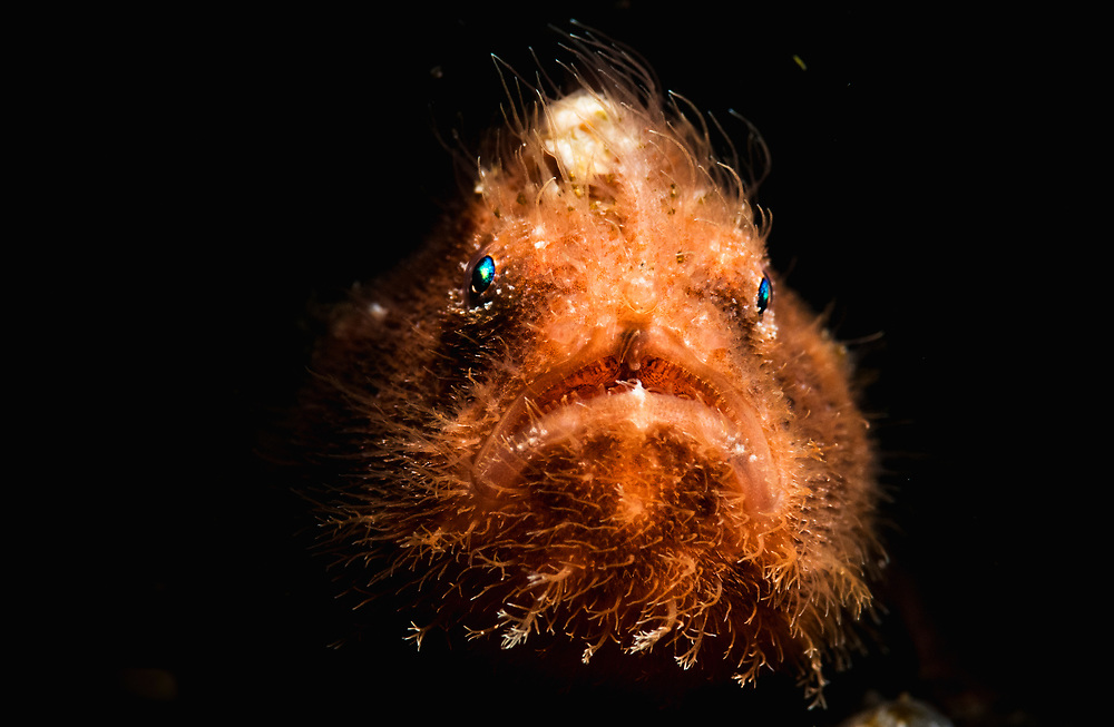 A portrait of a young hairy frogfish (Antennarius striatus) using a snooted strobe. Image made off Alor, Indonesia.