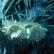 Bridled Burrfish inhabit seagrass beds and adjacent reefs in Tropical West Atlantic; picture taken Grand Cayman.
