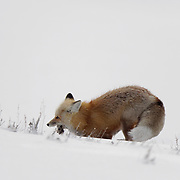 Red fox (Vulpes vulpes) with a small rodent it has hunted. Yellowstone National Park