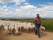 Just out of town near Santa Domingo de la Calzada the shepherd walks briskly as he leads his flock to new pastures. It was a wonderful site on this part of the Camino de Santiago in this area of Northern Spain.