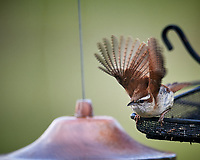 Carolina Wren about to take off. Image taken with a Nikon D5 camera and 600 mm f/4 VR lens (ISO 1600, 600 mm, f/4, 1/1000 sec).