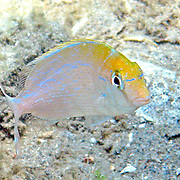 Littlehead Porgy, young, hover just above reefs and adjacent sand areas in Florida; picture taken Blue Heron Bridge, Palm Beach, FL.