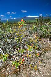 alpine berry, `Ohelo, Vaccinium reticulatum, Mauna Loa volcanic mountain with snow on summit in background, Hawaii Volcanoes National Park, Kilauea, Big Island, Hawaii