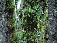 Licorice Ferns and moss on Big Leaf Maple tree trunks at Anderson Landing Preserve, Silverdale, Washington, USA