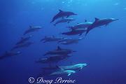 spinner dolphins, Stenella longirostris, Kona, Hawaii ( the Big Island ), USA ( Central Pacific Ocean )