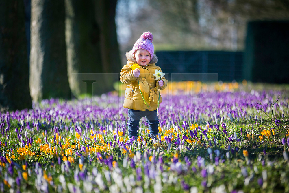 © Licensed to London News Pictures. 26/02/2020. Leeds UK. One year old Holly plays in the Crocuses at Temple Newsam park in Leeds, Yorkshire this morning. Photo credit: Andrew McCaren/LNP