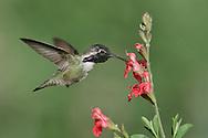 Costa's Hummingbird - Calypte costae - Adult male