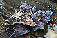 Fallen leaves covered in a morning frost