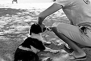 A homeless dog at Pinones Beach is medicated for a lesion on his ear by Katie Block of Island Dog.