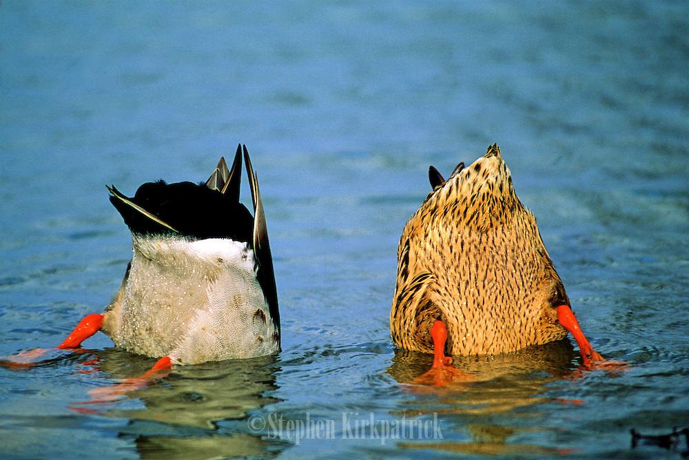 Mallard pair feeding.