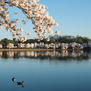 A pair of geese cruise on the still waters of the Tidal Basin under the cherry blossoms in full bloom in Washington DC.