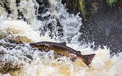 22OCT21 Salmon leap this morning on the River Carron, at the viaduct at Larbert, Scotland.