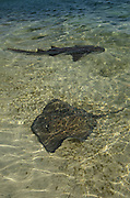 Nurse Shark (Ginglymostoma cirratum) & Southern Stingray (Dasyatis americana)<br /> Lighthouse Reef Atoll<br /> Belize Barrier Reef. Second largest barrier reef system in the world.<br /> BELIZE, Central America