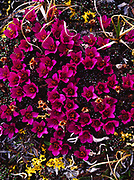 Purple Mountain Saxifrage, Saxifraga oppositifolia, Brooks Range, Gates of the Arctic National Park, Alaska.