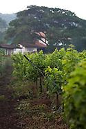 Sula Wines, Nashik, India<br /> COPYRIGHT 2010 CHRISTINA SJÖGREN<br /> ALL RIGHTS RESERVED