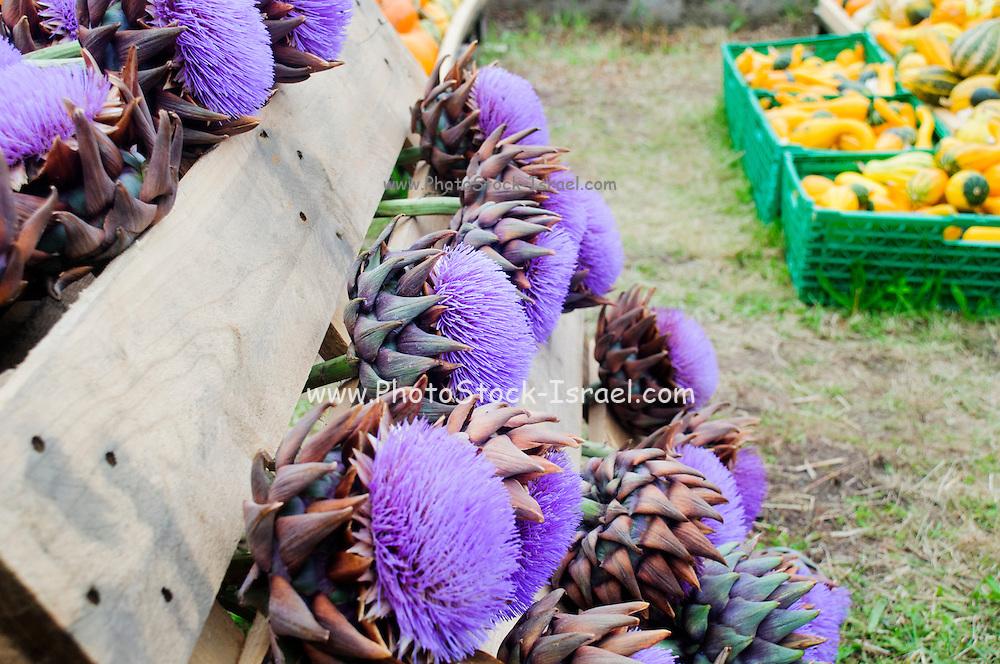 globe artichoke (Cynara cardunculus) flowers for sale. Photographed in Austria, Tyrol,