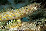 sand diver ( lizardfish or lizard fish ), <br /> Synodus intermedius, <br /> Bahamas ( Western Atlantic )