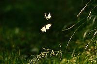 Altwarper Dune - Altwarper Binnendünen   Baumweißling, Baum-Weißling, Baumweissling, Aporia crataegi, black-veined white, Altwarp, Germany