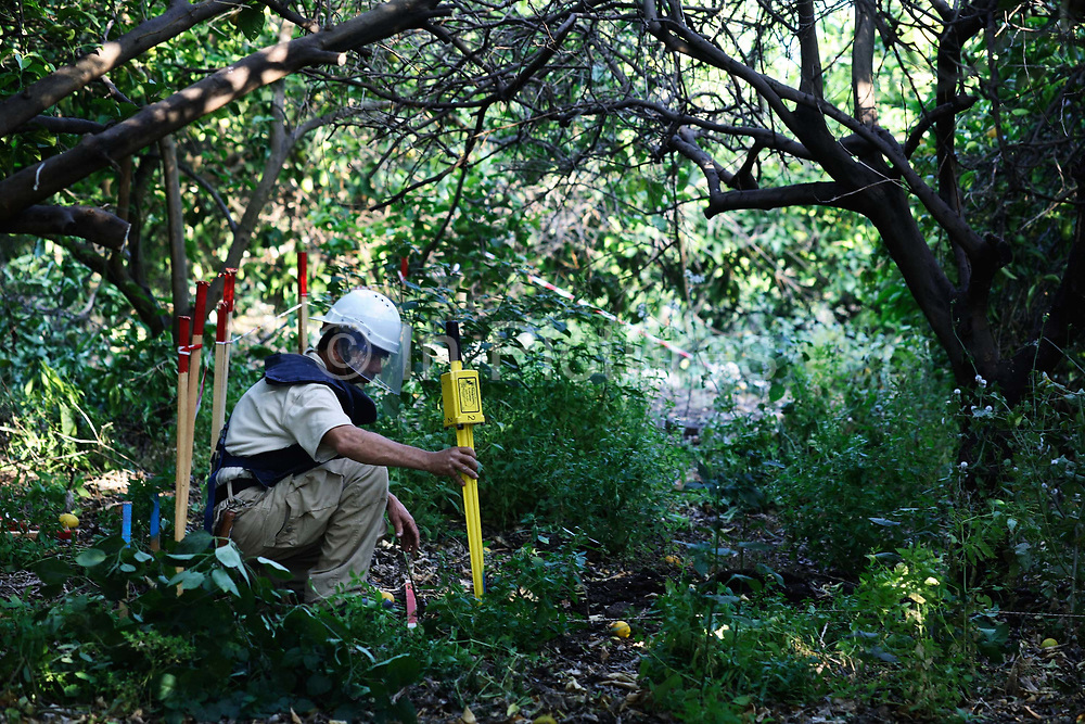 A Lebanese cluster bomb searcher from the Norwegian NGO Norwegian Peoples' Aid, working his way through dense undergrowth in an orange grove.  The yellow stick is his metall detector.