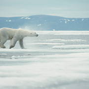Polar Bear male on ice flow in the Northwest Territories, Canada.