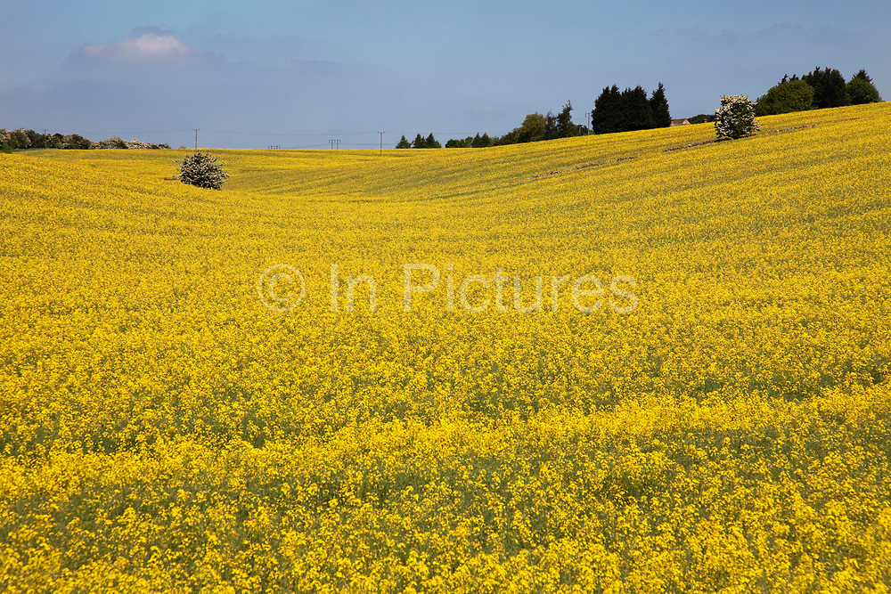 Oil Seed Rape fields in Gloucestershire. Also known as Rape Seed Oil, this beautiful yellow crop blooms in spring / summer and produces a delicious oil for cooking. The Cotswolds, Gloucestershire, UK.  Popular with both the English themselves and international visitors from all over the world, the area is well known for gentle hillsides 'wolds', outstanding countryside, sleepy ancient limestone villages, historic market towns and for being so 'typically English' where time has stood still for over 300 years. Throughout the Cotswolds stone features in buildings and stone walls act as a common thread in seamlessly blending the historic towns & villages with their surrounding landscape. One of the most 'quintessentially English' and unspoiled regions of England.