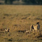 Cheetah, (Acinonyx jubatus) Mother and cubs hunting Serengeti Plains Masai Mara Game Reserve. Kenya. Africa.