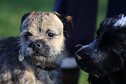 Mojo the border terrier with Henry the cocker spaniel