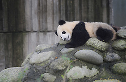 CHENGDU, Sept. 7, 2016 (Xinhua) -- Photo taken on Sept. 7, 2016 shows a giant panda in Chengdu Research Base of Giant Panda Breeding in Chengdu, southwest China's Sichuan Province. A Chinese giant panda expert said on Tuesday that it is too early to downgrade the conservation status of the species after the International Union for Conservation of Nature (IUCN) took the species off its endangered list on Sunday. The IUCN said in a report that the panda is now classified as ''vulnerable'' instead of ''endangered,'' reflecting growing numbers in the wild in southern China. The union attributed the increase in population to decades of dedicated conservation efforts in China. (Xinhua/Xue Yubin) (wx) (Credit Image: © Xue Yubin/Xinhua via ZUMA Wire)