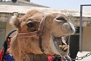Close-up portrait of a camel, Negev, Israel