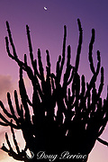 candle cactus and crescent <br /> moon at sunrise, Bonaire, <br /> Netherlands Antilles, ( Caribbean Sea )