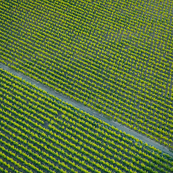 Aerial view of rows grapes in vineyard in sonoma california